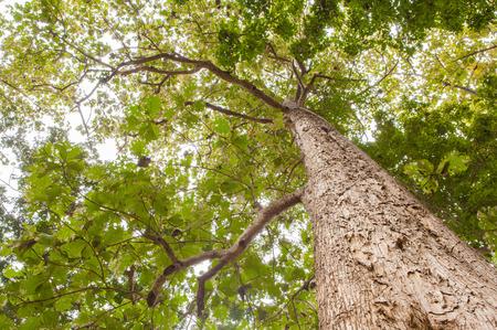 Big teak tree