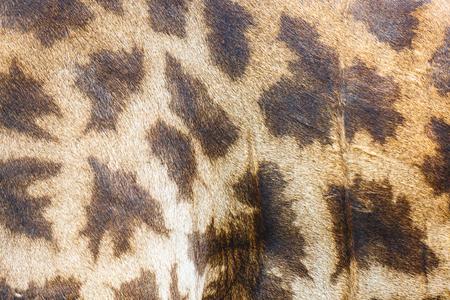 giraffe skin: Giraffe skin for background