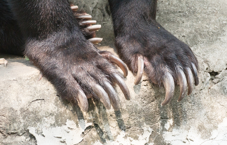 paw with claws Asiatic black bear