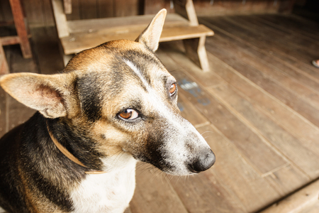 Thai dog looking at camera Stock Photo