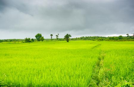 Rice fields in the rain