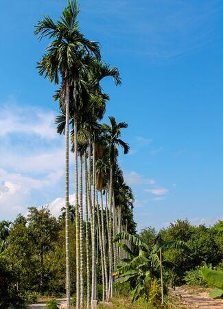 betel: betel palm