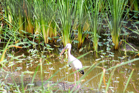 fisher animal: Stork out for a morning of fishing.