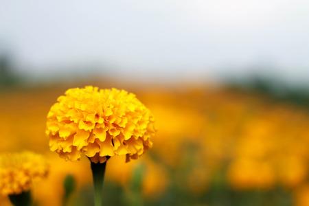 garden marigold: he romantic garden marigold fields close up Stock Photo
