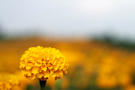 garden marigold: he romantic garden marigold fields closeup