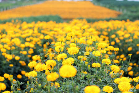garden marigold: he romantic garden marigold fields Stock Photo