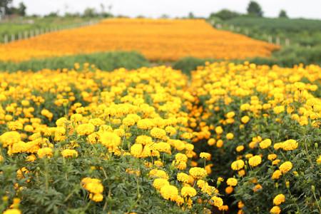 garden marigold: the romantic garden marigold fields Stock Photo