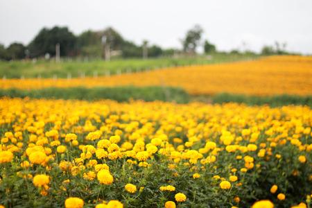 garden marigold: The romantic garden marigold fields