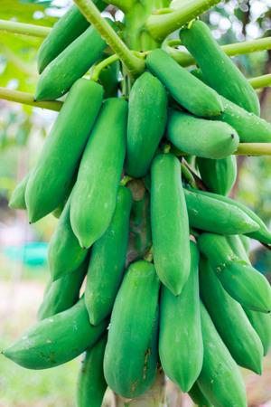 friut: the papaya tree have many papaya fruit