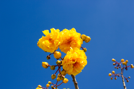 plant gossypium: cochlospermum flower blue sky backgrounds Stock Photo