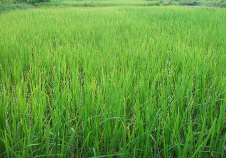 rice farm in Thailand photo