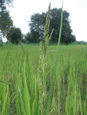 rice farm in Thailand Stock Photo - 10894480