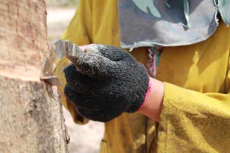 Tapping latex from a rubber tree. Phuket, Thailand Stock Photo
