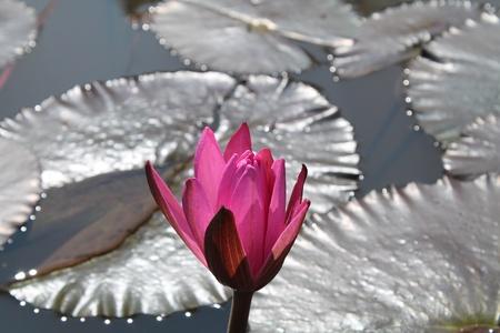 White lotus.