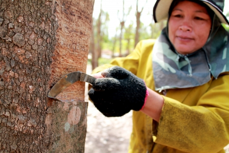 Tapping latex from a rubber tree. Phuket, Thailand photo