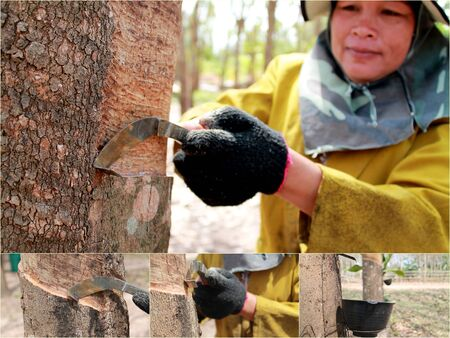 Tapping latex from a rubber tree  Phuket, Thailand