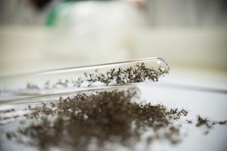 mosquito vaccine test. Stock Photo - 98646125