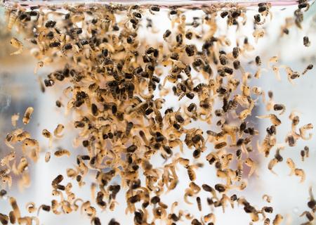 Mosquito larvae in water. Archivio Fotografico
