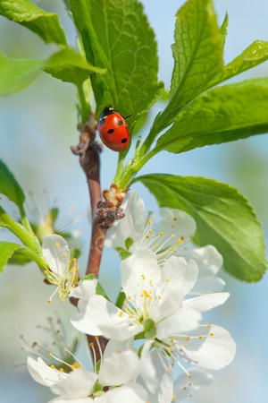 apple blossoms and ladybird on the branch over sky background