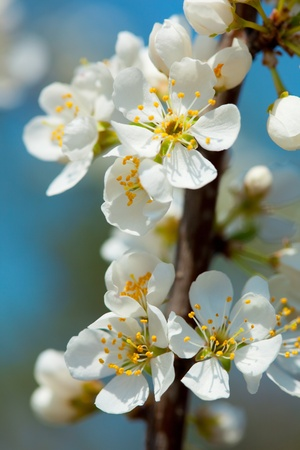 midst: close-up of apple blossom in the midst of spring