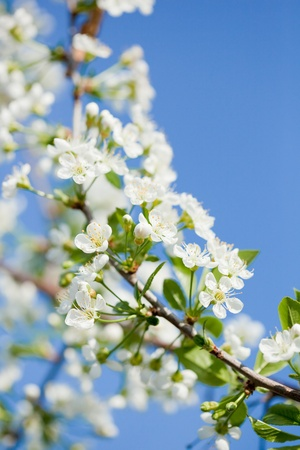 apple blossoms in spring over the blue sky Stock Photo - 9393398