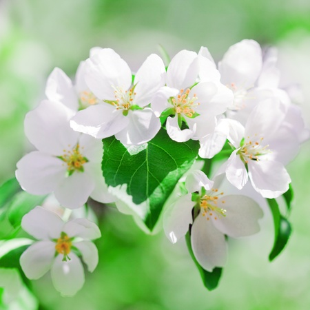 apple blossoms in spring on white background Stock Photo