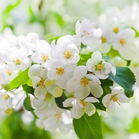 apple blossoms in spring on white background photo