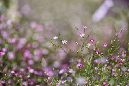 Gypsophila flower beautiful
