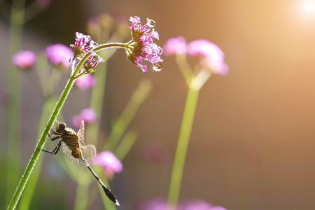 A close-up of Beauty dragonfly resting on flower