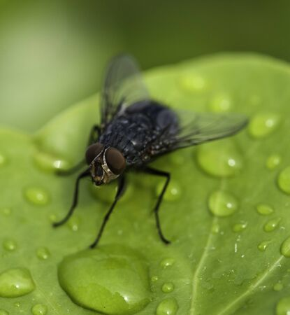 Black Fly on a Wet Green Leaf in Cannes, France photo