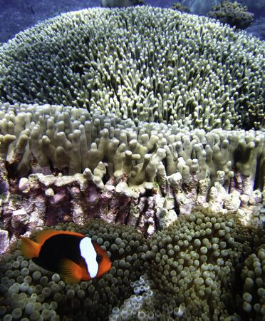Nemo Fish on the Great Barrier Reef in Queensland, Australia Stock Photo