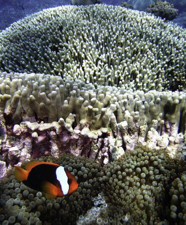 Nemo Fish on the Great Barrier Reef in Queensland, Australia photo