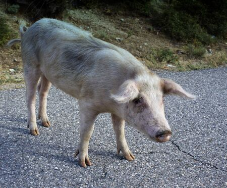 Pig on a Street of Corsica, France Stock Photo - 12171026