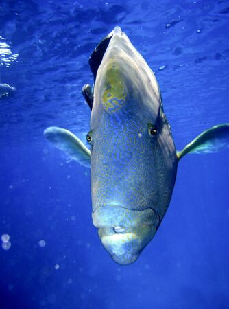 cheilinus: Humphead Maori Wrasse Face on the Great Barrier Reef, Queensland, Australia