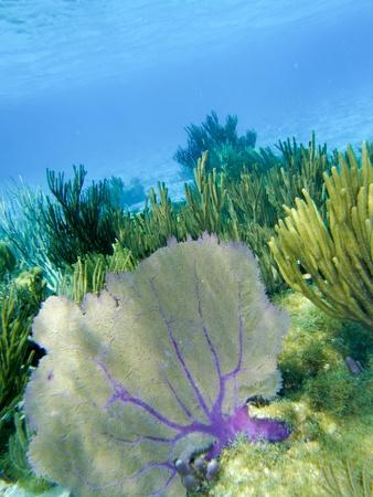 fond marin: Flore et faune de la mer des Cara�bes, Grand Cayman Banque d'images