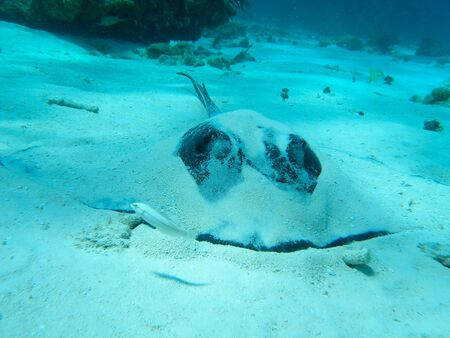 Stingray in the Caribbean Sea, Grand Cayman Stock Photo - 13295238