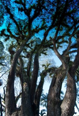 daintree: Textures of Bearded Mossman Trees in Queensland, Australia