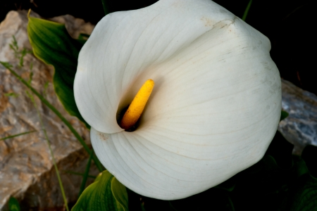 Calla, A Plant in a Italian Garden photo