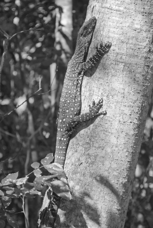 Monitor Lizard on a Tree, Whitsunday Islands, Australia photo