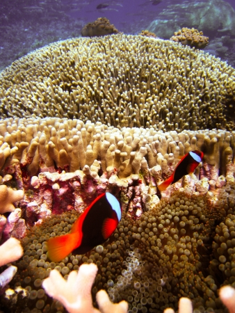 Nemo Fish on the Great Barrier Reef in Queensland, Australia Stock Photo - 19047507