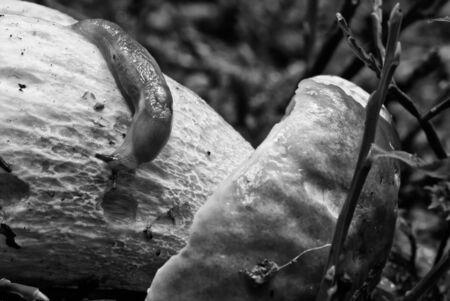 Snail moving on a Boletus Mushroom, Dolomites Woods, Italy