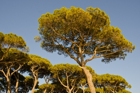 Pines in a Tuscan Pinewood, Italy photo
