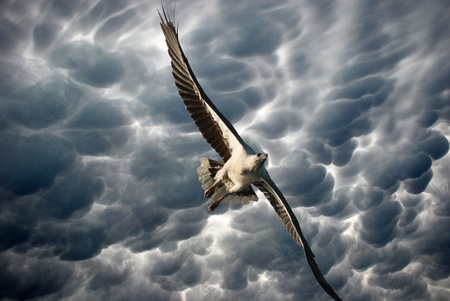 Eagle in the Stormy Sky, Whitsunday Islands, Australia photo