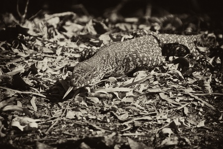 Monitor Lizard in the Whitsunday Islands Archipelago photo