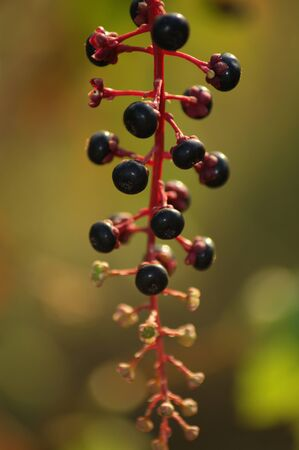 A close cousin of grapes, Peppervine is native to Texas, Other common names include Buckvine and Cow Itch. Stock Photo