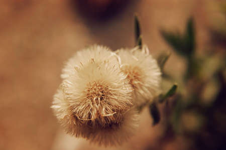 seeding: a close up of plants similar to dandelion flower