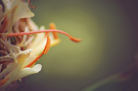 Orange Flower Of Ginger In The Arboretum And Botanic Gardens In Houston,  Texas Stock Photo