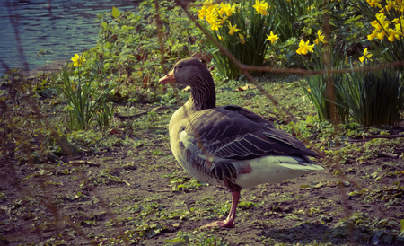 st jamess: Duck at the Waters edge in the Lake In St. Jamess Park; London, England