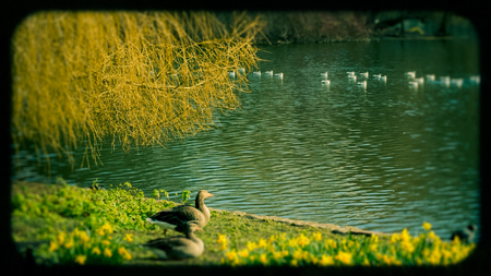 st jamess: Ducks at the Waters edge in the Lake In St. Jamess Park; London, England