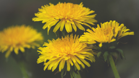 Close up of Dandelion  flowers growing in field Stok Fotoğraf